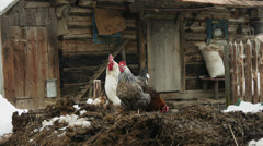 Poultry in the yard of an old wooden house in the Carpathian Mountains, Ukraine Stock Footage