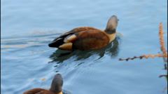 South African Shelduck. Swimming on Lake. Stock Footage