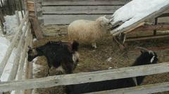 Farm animals in the courtyard. Carpathians, Ukraine. Stock Footage