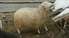 White sheep eating snow. Carpathians, Ukraine. - stock footage