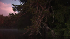 Huge pine trees Stock Footage