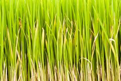 rice plant . - stock photo