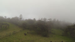 Flying over a herd of cows in cloud forest Stock Footage