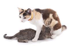 Kissa ruokinta pennut. Kuvituskuvat