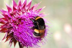 Umblebee thistle flower Stock Photos
