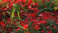 Stock Video Footage of Autumn red maple leaves in the ground.