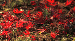 Autumn red maple leaves fall to the ground. - stock footage