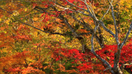 Stock Video Footage of Autumn maple.