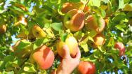 Hand picking an apple from a tree. Stock Footage