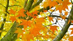 Fire Orange Autumn Leaves Stock Footage