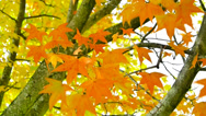 Stock Video Footage of Fire Orange Autumn Leaves