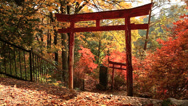 Stock Video Footage of Torii on the background of autumn leaves.