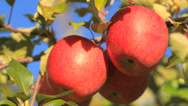 Red apples. Stock Footage