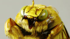 Yellow Bumblebee Seen Close Up Stock Footage