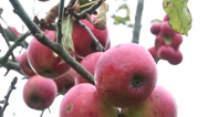 Stock Video Footage of Apples on a tree