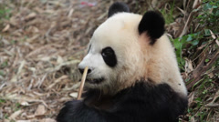 Giant Panda eating bamboo - stock footage