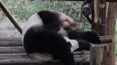 Sleeping Giant Panda Stock Footage