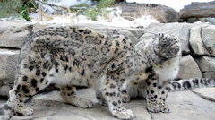 snow leopard - stock footage