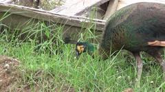 Peafowl (Phasianidae)  2/4 Stock Footage