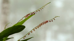 Micro-orchid Stelis sp. Stock Footage