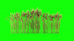 Looped line of wheat on the wind, isolated on green screen with alpha Stock Footage