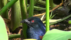 Greater Coucal or Crow Pheasant (Centropus sinensis).  3/6 Stock Footage