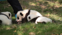 Giant Panda cub - stock footage