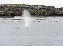 Stock Photo of gray whale spouting on the coast