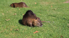 Nutria on the grass field Stock Footage