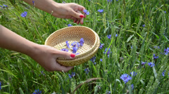 Closeup of girl hand pick blue cornflower herb in field Stock Footage