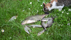 Cat try to steal thieve borrow eat big alive bream fish on grass Stock Footage