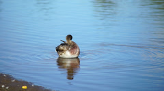 Young duck on water in summer day Stock Footage