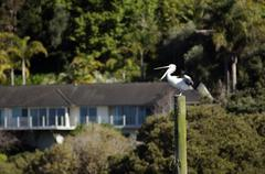 the first pelican spotted in nz for more than 20 years - stock photo