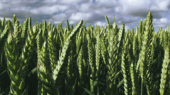 Corn fields agriculture and farm land. Shot on RED ONE Digital Cinema camera - stock footage