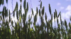 Corn fields agriculture and farm land. Shot on RED ONE Digital Cinema camera Stock Footage