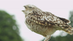 Tawny Owl Stock Footage