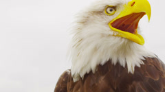 USA American Bald Eagle Stock Footage