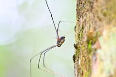 harvestman spider or daddy longlegs - stock photo