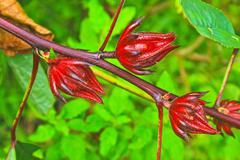 roselle fruits on tree in garden - stock photo