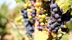 Wild grapes in Portugal vineyard Stock Footage