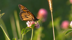 Butterfly on flower in the wind full shot - stock footage