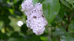 Closeup of wet dewy lilac tree blooms closeup Stock Footage