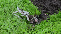 Hand put mole animal caught with steel metal trap near mole-hill Stock Footage