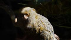 Pygmy marmoset Stock Footage