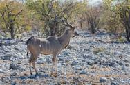 Stock Photo of Kudu antelope