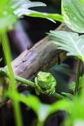 green monkey tree frog - stock photo