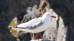 Silver gull close up Stock Footage