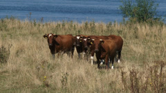 Deep red cattle in summer meadow along river Meuse - on camera Stock Footage