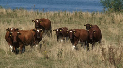 Deep red cattle and calves towards camera in summer meadow along river Meuse Stock Footage