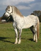 White welsh mountain pony with black halter Stock Photos